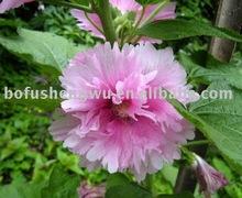 Plant Shrub Althea extract 4:1 10:1 20:1