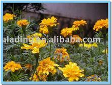 marigold extract 5%-90%Lutein