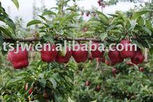 fresh apple huaniu apple