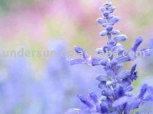 officinalis light brown powder 10:1