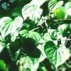 100% Black Cohosh Extract (2.5%,8% Triterpene Gycosides)/ Kosher Herbal Extract