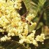 10:1 Bee Pollen Extract