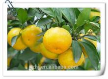 New mandarin citrus