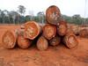 tali wood logs 70cm+ ( Cameroon )