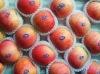 new season delicious fresh fuji apple 2013
