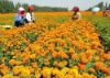 Hybridize Marigold F1 seeds For Ornamental Yellow and Orange color