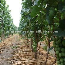 chinese grape Victoria