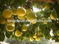 New crop grapefruit bulk fresh fruit