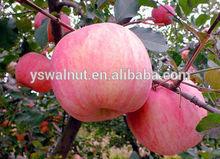Fresh organic red Fuji apple
