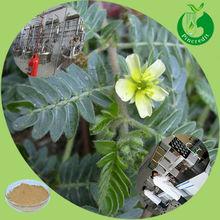 100% natural pure tribulus terrestris extract Saponins 40% 60%70% 90%