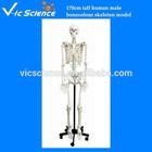 170cm tall human male bonecolour skeleton model with plastic stand Human skeleton model