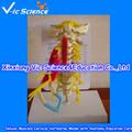 De lujo Muscled vértebras cervicales modelo con anatomía tarjetas de educación temprana