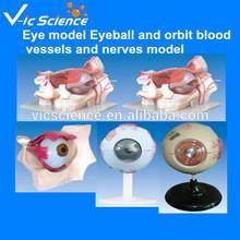 Eye model Eyeball and orbit blood vessels and nerves model