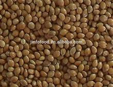 Yellow broomcorn millet