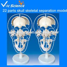 Medical Science 22 parts skull skeletal separation model