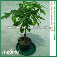 5 Braided Pachira Money Tree