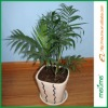 /product-gs/chamaedorea-elegans-house-plant-bamboo-palm-tree-reed-palm--60097841030.html