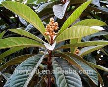 High Quality Loquat Leaf Extract