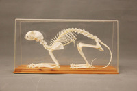 Rabbit skeleton / science / school teaching equipment