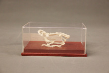 Frog skeleton model / science / school teaching equipment