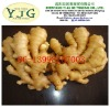 2014 fresh young ginger from Shandong in carton or mesh bag