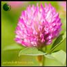 Prime Quality Trifolium Pratense Extract