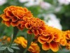 Marigold flower extract Lutein powder 50% 98% by HPLC