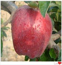 juicy sweet huaniu apple