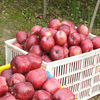 new season high quality low price fresh famous brand flavory red delicious apple fruit
