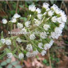 Black Cohosh Extract 2.5% & 8% Triterpenoid Saponins