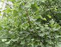 Gingko albero estratto, gingko usp32 albero
