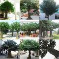 guangzhou fábrica fazer grande grande grande falsos decorativos exteriores de alta imitado banyan artificial ficus árvore para decoração