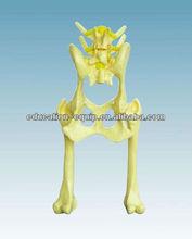 Model of Dog Joint SE62079