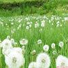 Herb Extract 5% Isoflavones Dandelion extract