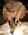 vida realista de fibra de vidro tamanho do crânio de dinossauro fóssil