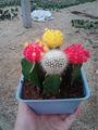 greffé cactuse