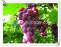 Frais nouvelle récolte chinois rouge Globe raisin
