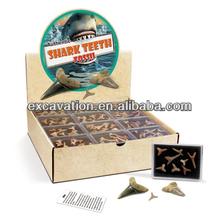 autentico denti di squalo fossili in una scatola