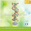 Adn molécula estructura modelo / biológico modelo