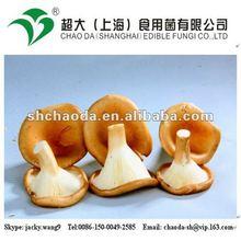 big cap oyster mushroom