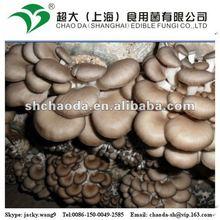 oyster mushroom bag