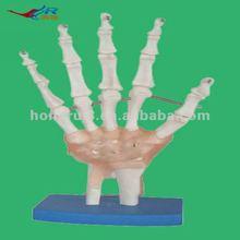 解剖モデル手の骨組モデル、手のモデル解剖