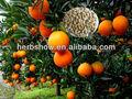 Orange navel graines,/citrus sinensis graines,