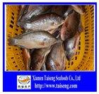 High Quality Black Whole Round Frozen Fish Tilapia