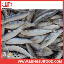New arrival fresh frozen sardine fish whole round