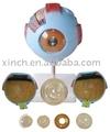Modelo anatómico del ojo, modelo de ojo humano