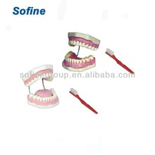 Teeth And Dental Models,Dental Model,Dental Orthodontics Model