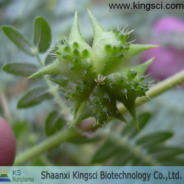 Medicine Grade Black Cohosh Extract triterpenoid saponins 2.5% 5% 8%