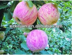 fresh fuji apple sweet organic