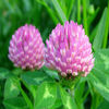 Anti-inflammatory sterilization/Red Clover Extract Female menopause/Red Clover Extract